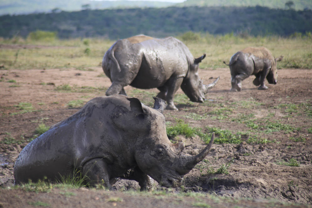 A family of rhinos wallowing in the mud in Hluhluwe