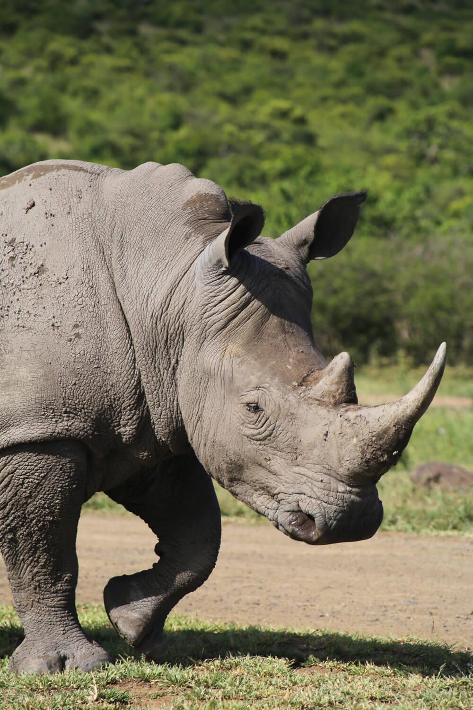 Complete Guide to Safari in Hluhluwe-Imfolozi Park in Kwa-Zulu Natal South Africa, KZN Safari in Hluhluwe-Umfolozi Game Reserve, Hluhluwe-Imfolozi Accommodation #HluhluweImfolozi #SouthAfrica #Safari