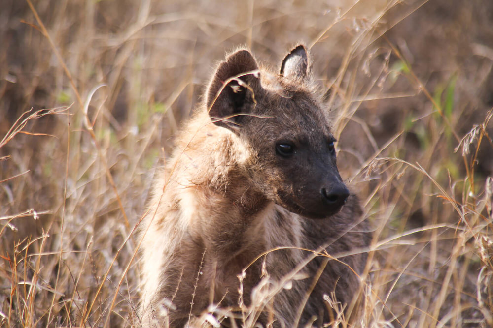A Hyena in kruger national park south africa