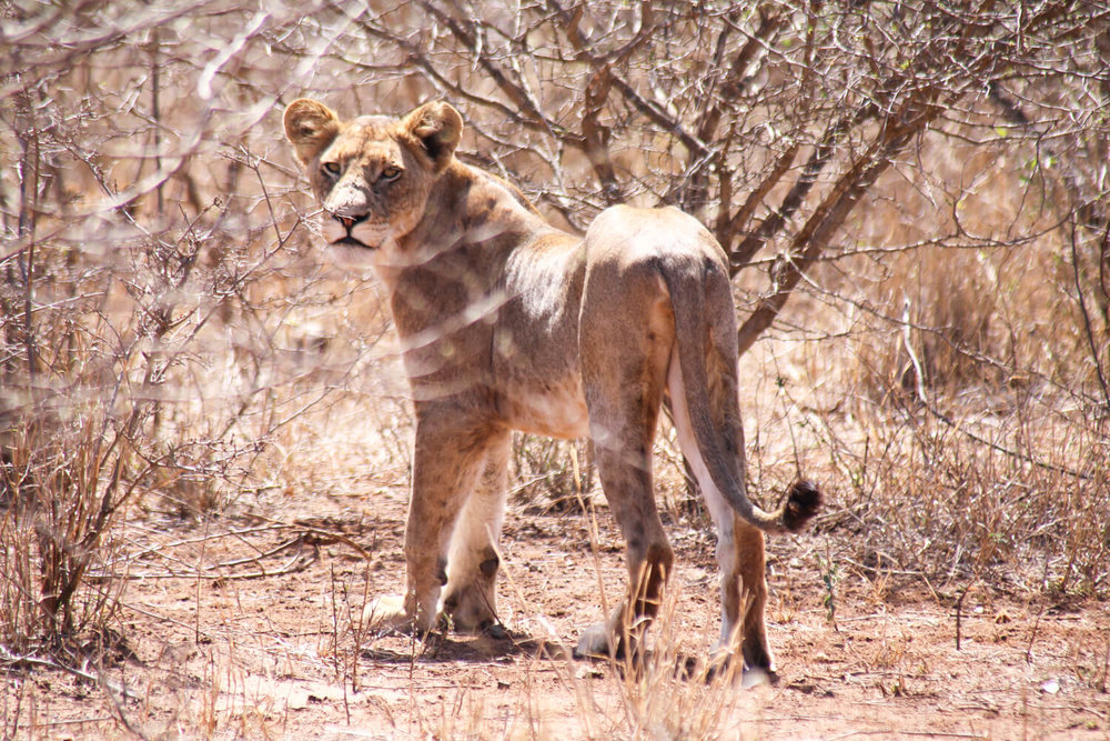 "If you want to see a lot of lions (like this ""little"" guy) and all of the Big 5, the southern section is your best bet."