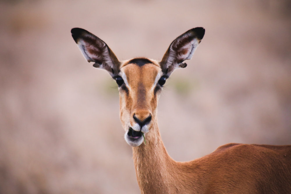 in a photo of Kruger national park an impala chewing a piece of grass and looks directly into the camera