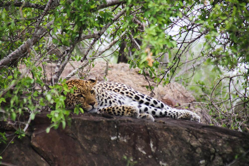 A leopard asleep on a boulder in Kruger National Park in November