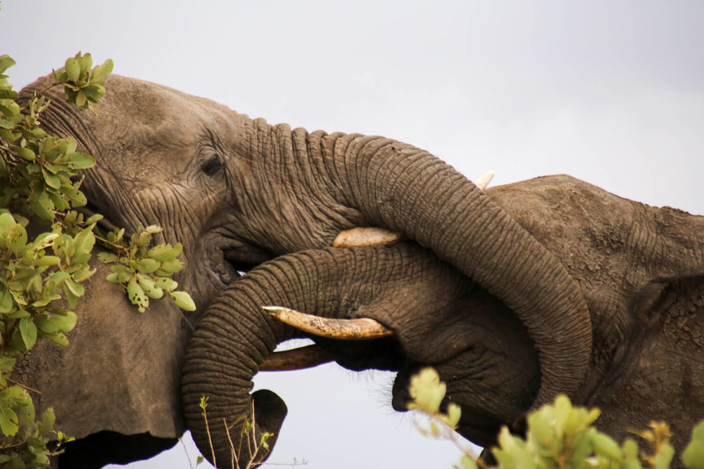 Kruger National Park picture of two elephants play fighting