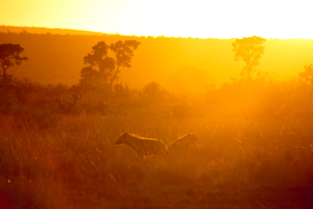 Pictures of Kruger National Park of four hyena prowling while the sunrises