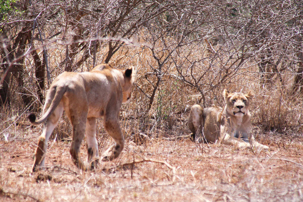 Two large lion cubs rest in the bush in Kruger National Park