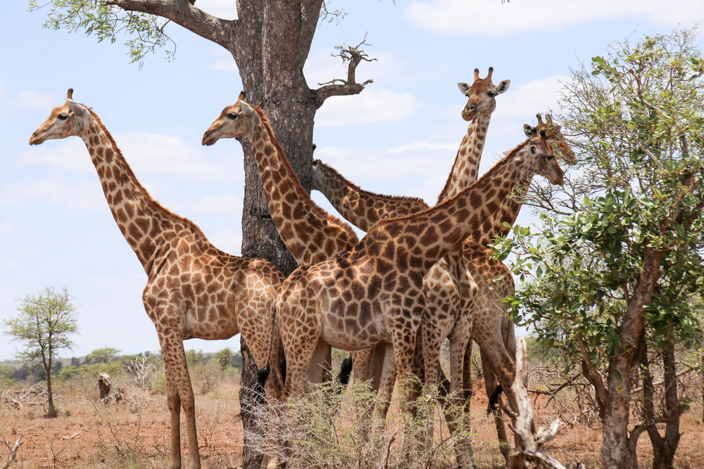 Pictures of Kruger National Park on a hot day, giraffe are hiding from the sun under a tree