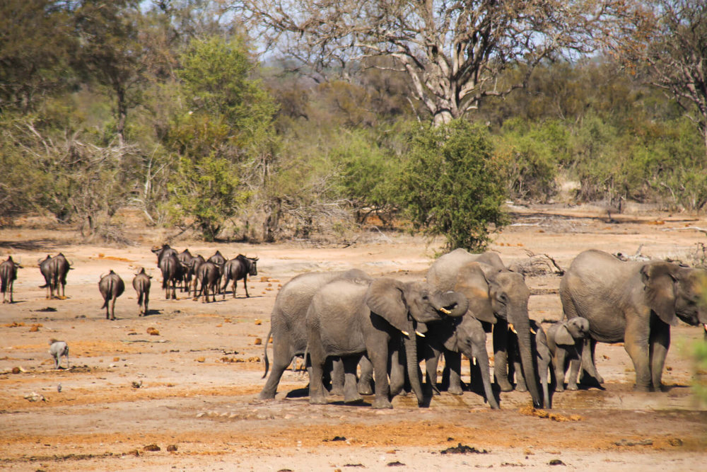 Images of Kruger National Park of a herd of elephants and wildebeest