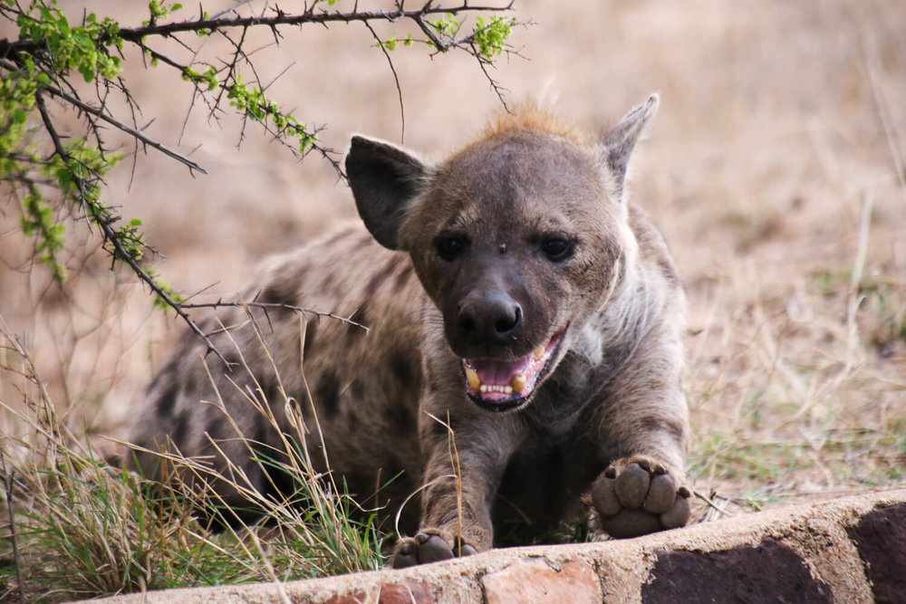 I leave you with this happy hyena.