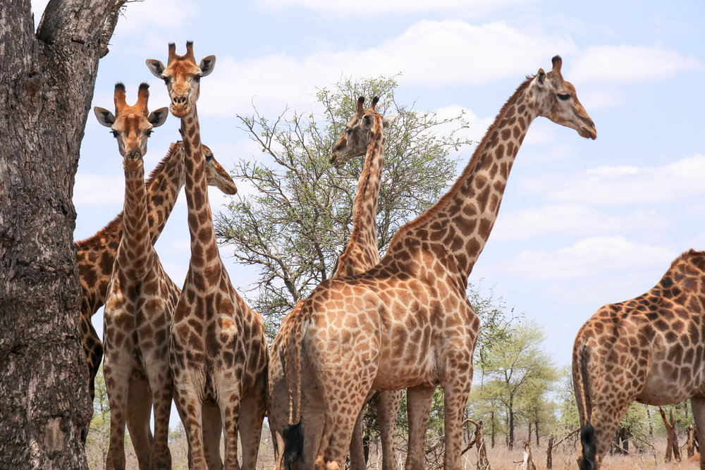 6 giraffe stand under the shade of a tree on a 2 weeks South Africa itinerary in Kruger National Park