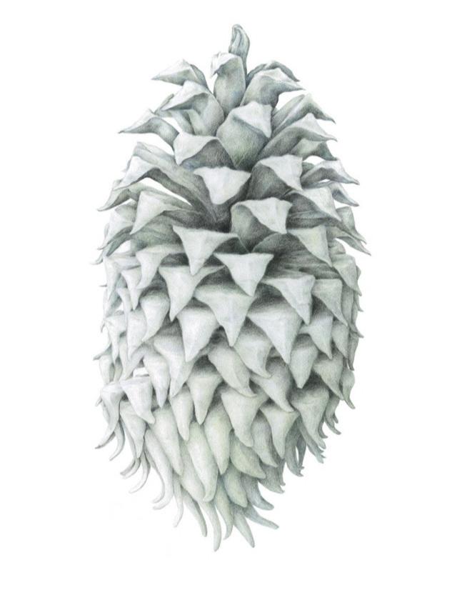Ghost Pine Spirit   - Julia Groves. Drawing.