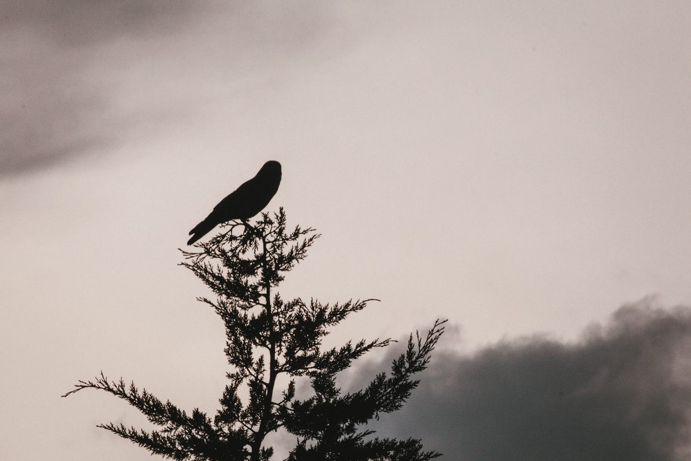 Silhouette of a corvid sitting on top of a pine tree against a stormy sky.