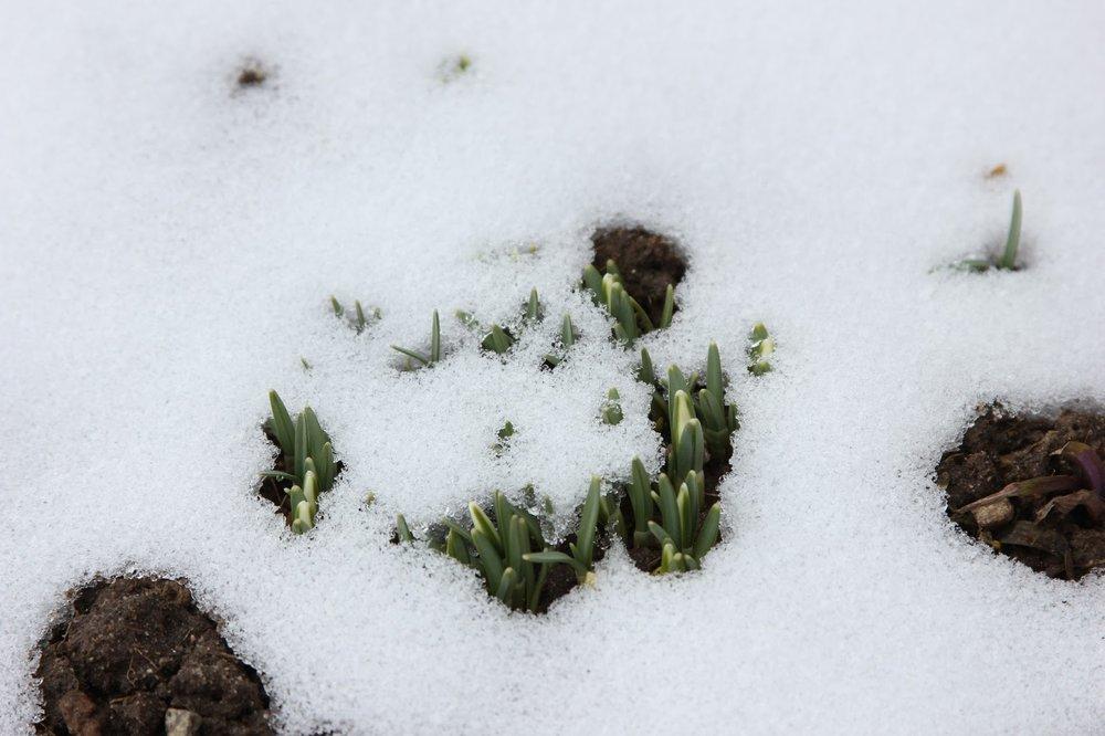 snow storm, spring bulbs 028.jpg