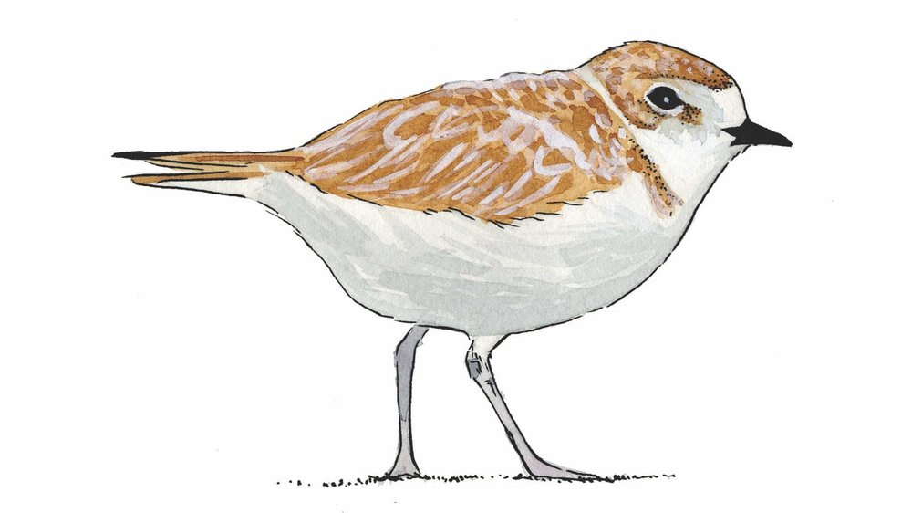 Snowy Plover Adult Illustration by Stacey Vigallon