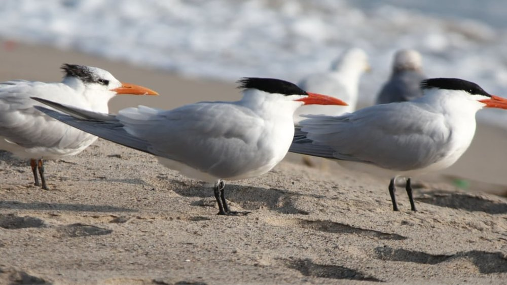 royal-terns-beach.jpg