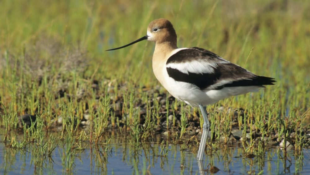 American Avocet at Ballona Wetlands Ecological Reserve