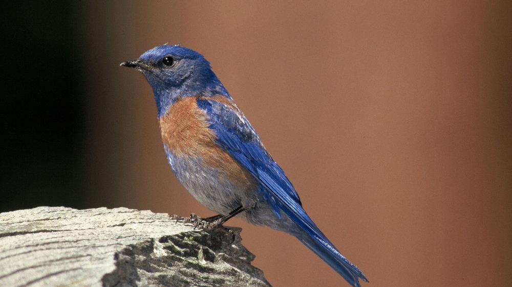 Western-Bluebird.jpg