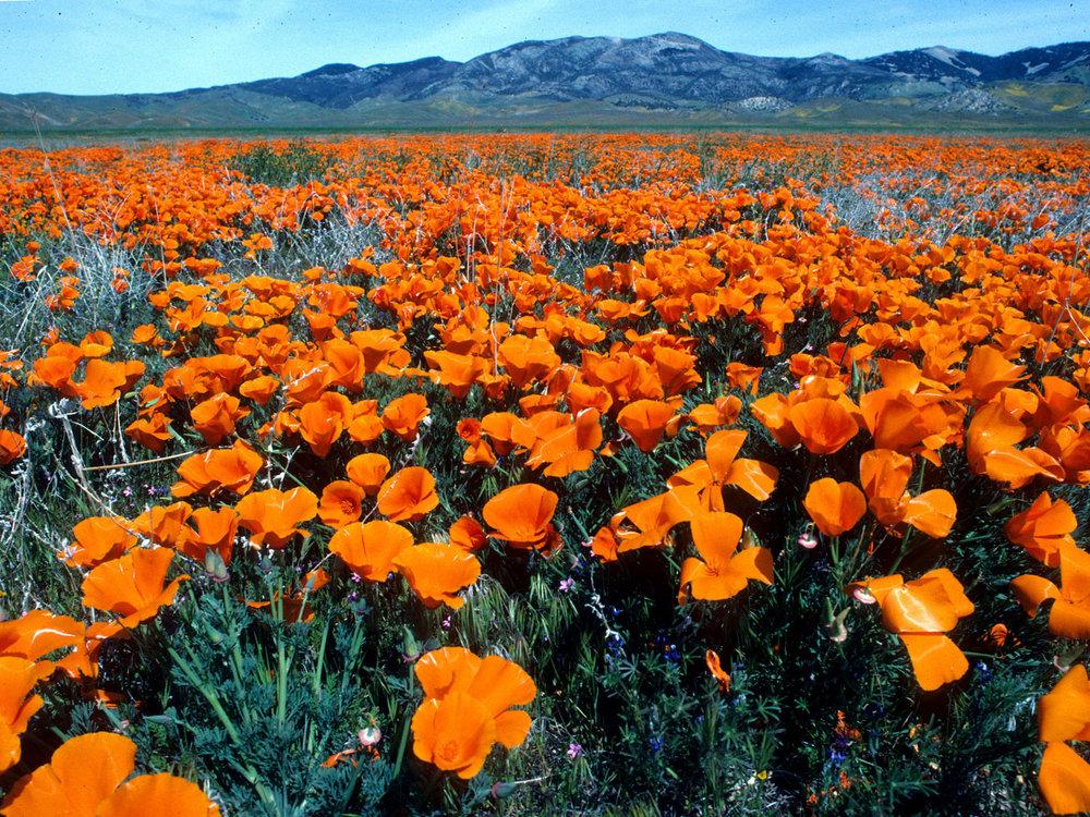 Eschscholtzia Californica | Photo by Larry Sansone