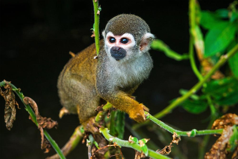 Amazon Spider Monkey.jpg