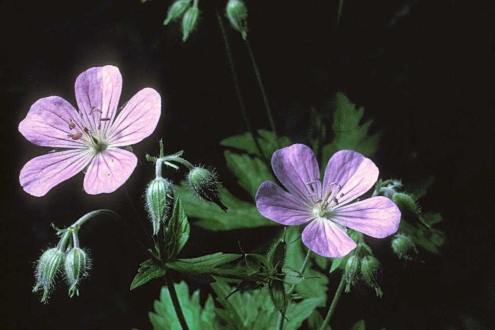 geranium-maculatum-fl-fbramley-b.jpg