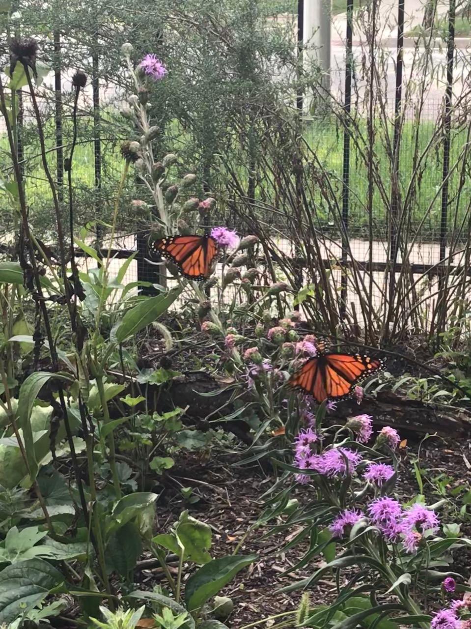 Lindzy monarchs liatris.jpg