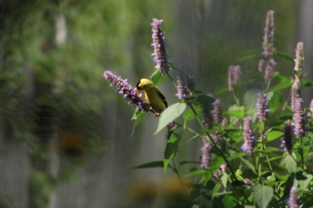 Gold finch at anise hyssop.jpg