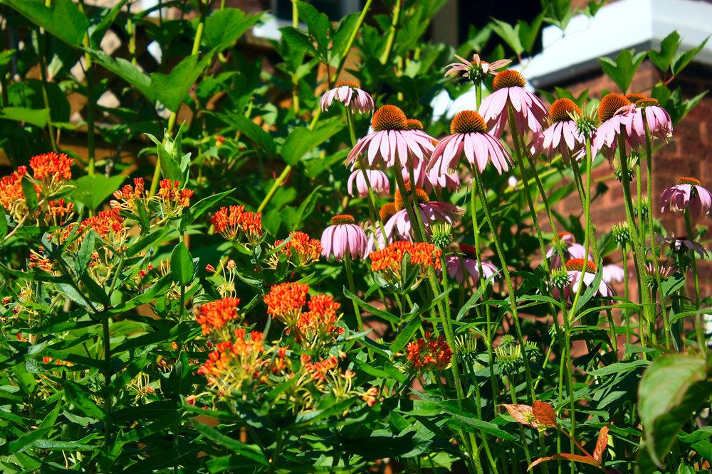 IMG_0285 coneflower buterrfly weed.jpg