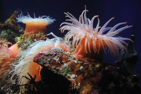 sea-anemones.jpg
