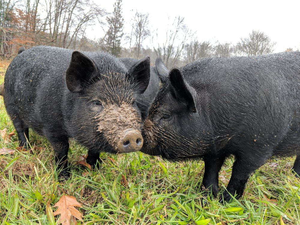 Heritage pigs - Visit the farm to meet our three female American guinea hogs, living their best life while helping to keep invasive vines and shrubs from establishing along our stone walls.