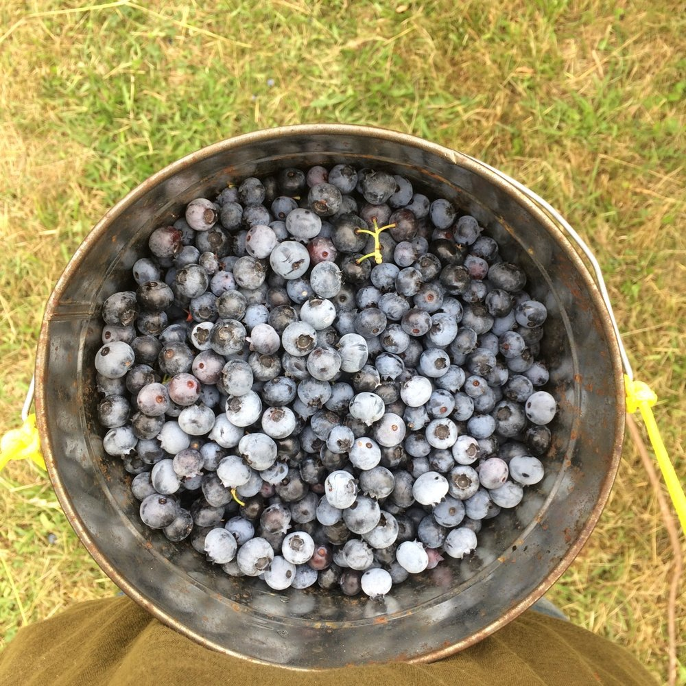 blueberries in bucket - maybe for the cover?.jpg