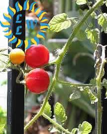 tomatoes photo by lisa maliga