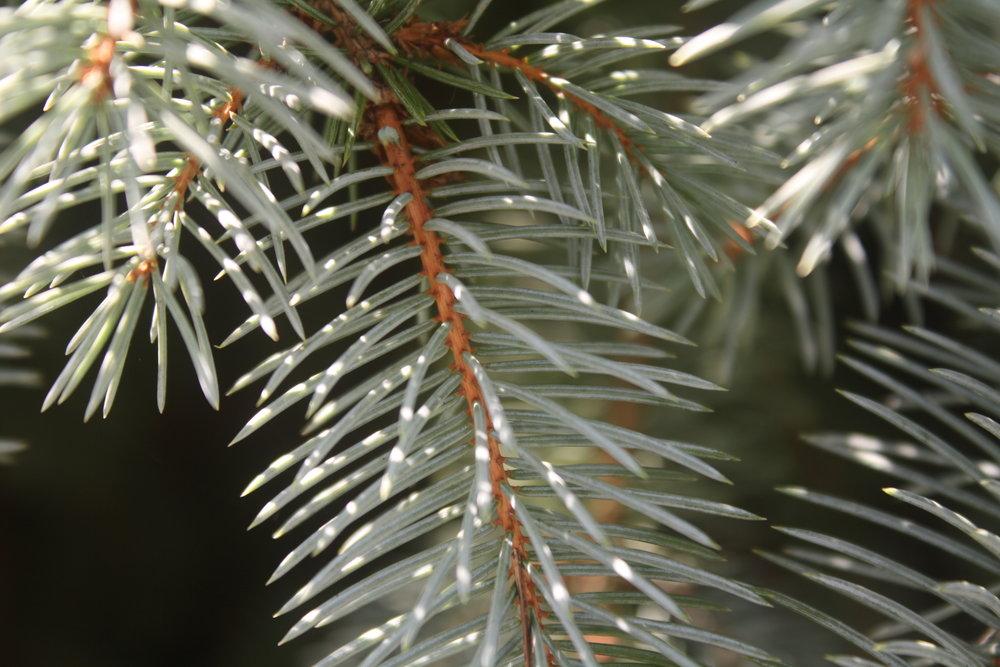 evergreen.JPG
