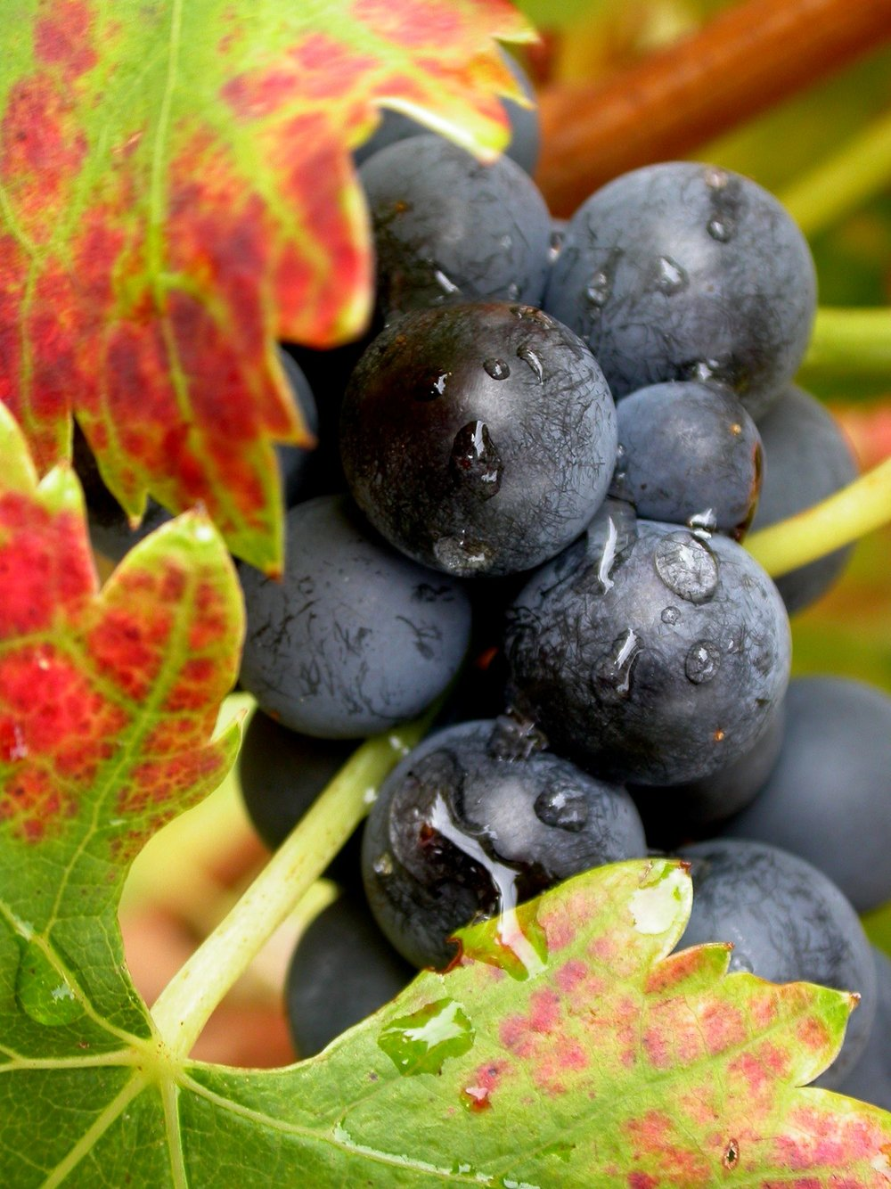 Chene Bleu grapes