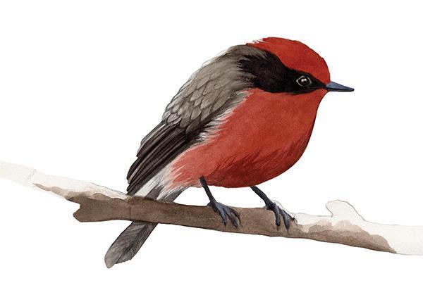 Flycatcher Red Bird Watercolour Illustration by Alicia's Infinity - www.aliciasinfinity.com