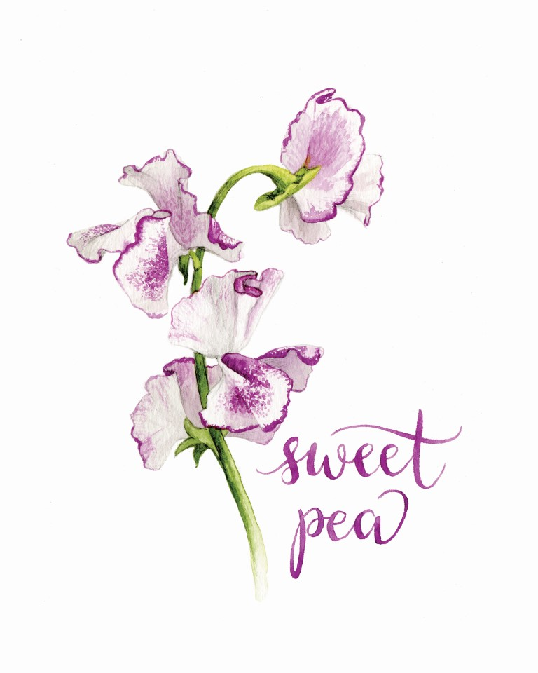 Sweet Pea Watercolour Illustration by Alicia's Infinity - www.aliciasinfinity.com