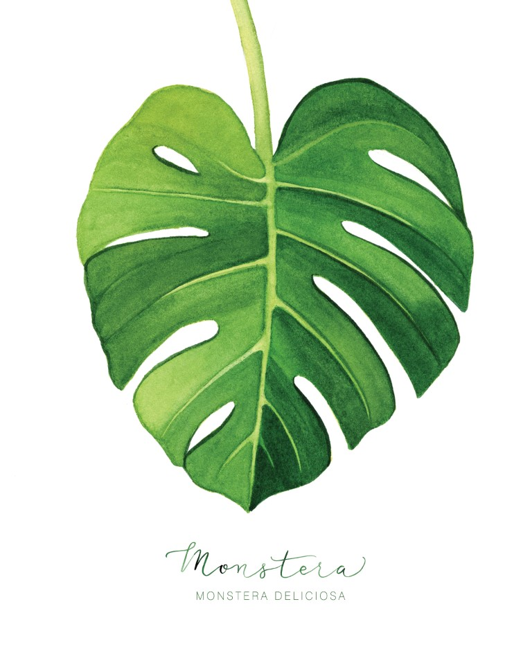 Tropical Monstera Leaf Watercolour Illustration by Alicia's Infinity - www.aliciasinfinity.com