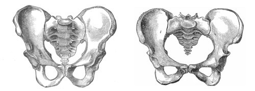 - Male Pelvis vs. Female Pelvis