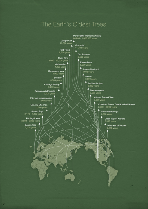 explore-blog :     The world's oldest trees in an infographic by  Michael Paukner , master of  esoteric visualization . Pair with the world's oldest trees  in photos .    ( ↬   this isn't happiness )