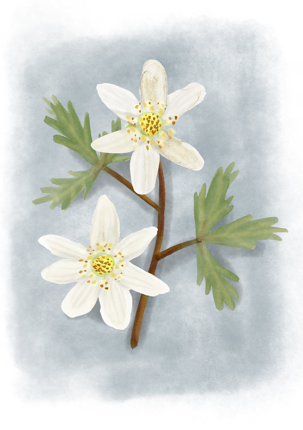 Wood Anemone.jpg