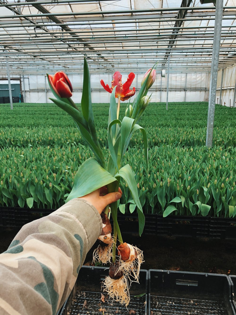 """- """"we grow about 100 different tulips through the season"""""""