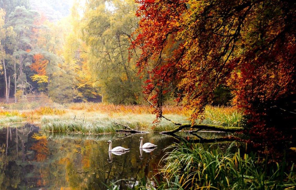 Swans, Loch Faskally