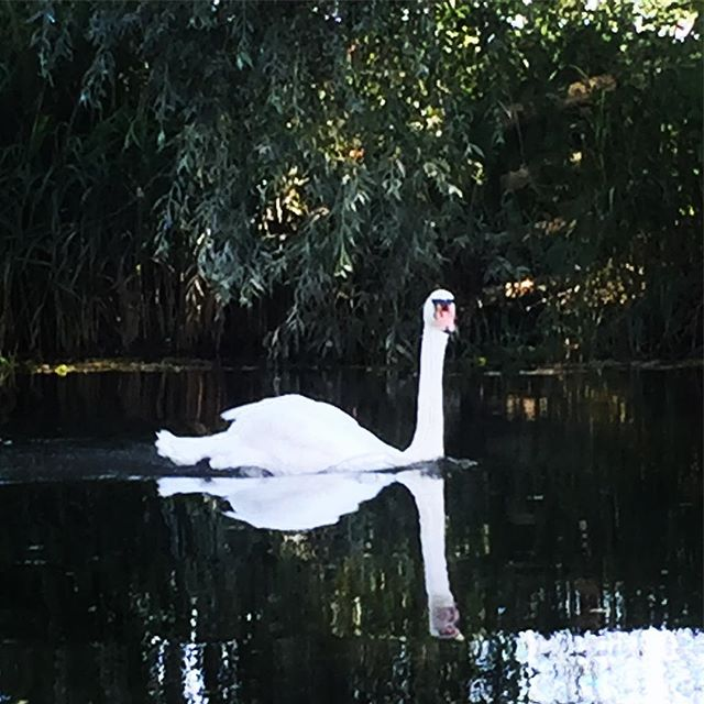 Say hi to our friendly neighbours #RiverStour #DedhamVale #RushbanksFarm #Suffolk #Essesx #Colchester #Camping #Campsite #Swan