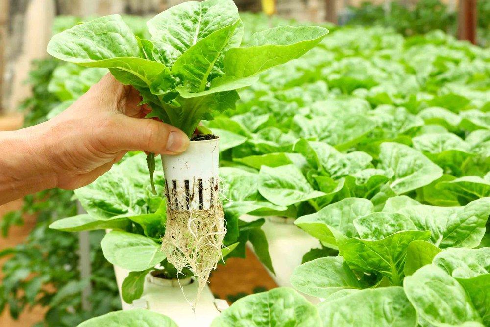 vegetables in hydroponics.jpg