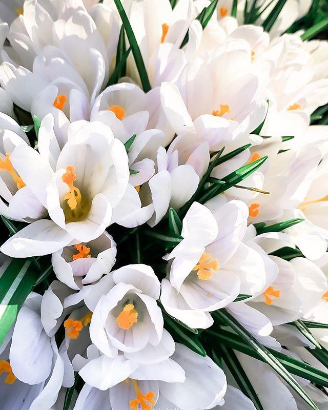那天騎車時,經過這片開滿白色、紫色番紅花的草地,陽光灑在花上,好美。Dutch blossom season just started, now full of white and purple #saffron everywhere. So pretty! 🌱 🌱 🌱 🌱 #荷蘭 #番紅花 #春天 #花 #陽光 #阿姆斯特丹 #歐洲 #愛荷蘭左擁右抱 #白 #紫 #仙氣 #大自然 #好心情 #花蕊 #花藝