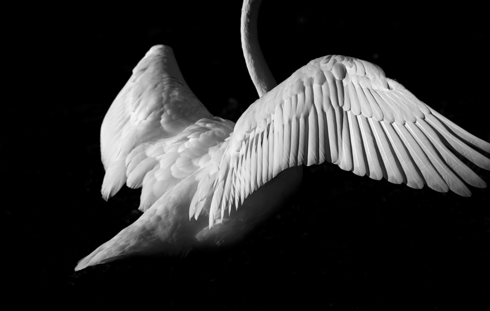 swan 11.png