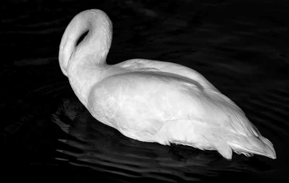 swan 2.png