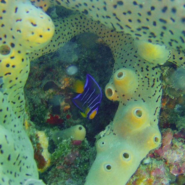 Queens, don't forget to grab your crown before leaving the house today 👑 -Juvenile Queen Angelfish . . . #montserrat #westindies #padi #adventurerediscovered #scubadiving #coral #sponge #caribbean #bestplacestogo #picoftheday #girlsthatscuba #islandlife