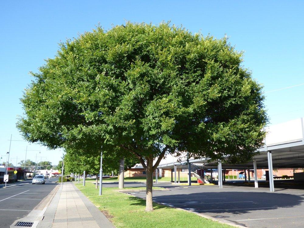 athena-classic-elm-ulmus-parvafolia-landscape-habit.jpeg