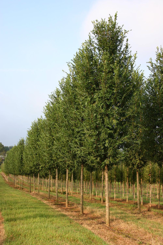 Everclear-Lacebark-Elm-Ulmus-parvafolia-row-3.jpg