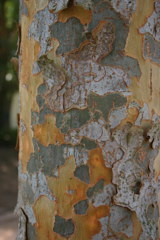 Everclear-Lacebark-Elm-Ulmus-parvafolia-bark.jpg