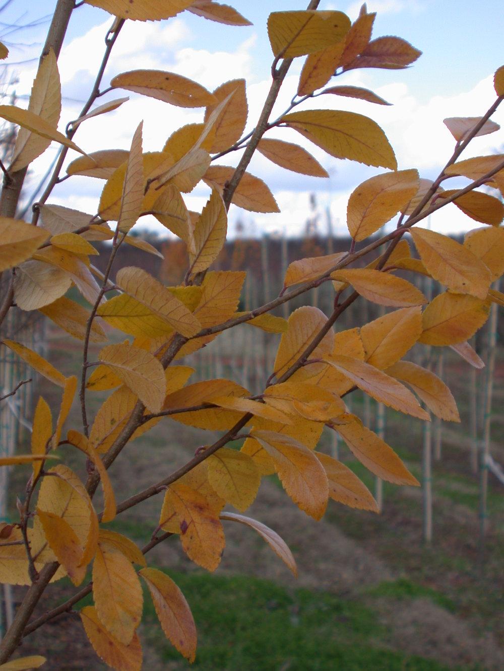 Everclear-Lacebark-Elm-Ulmus-parvafolia-fall-color-2.jpg